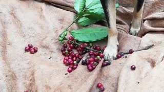 Dog Helps With Coffee Bean Harvest