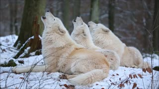 Amazing Video Shows Captive Arctic Wolves Howl In Choir - Video