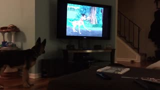 German Shepherd deeply engaged in movie