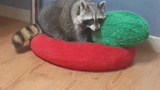 Raccoon arranges bedclothes before going to bed
