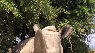 Najin, the Rare White Rhino