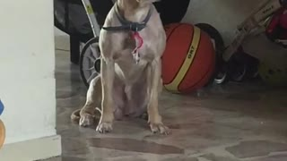 Dog with blue collar sits and starts to fall asleep  - Video