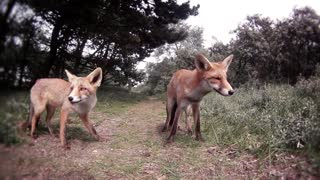 Feeding Wild Foxes - Video
