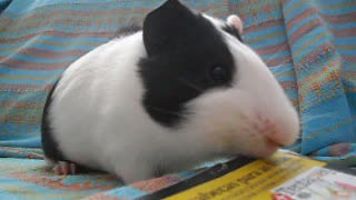 Cute Guinea Pig - Video