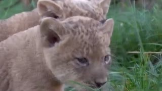 Lion cubs make their public debut at Ohio zoo