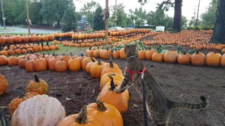 Family lets cat pick out pumpkin in yearly tradition - Video