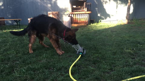 German Shepherd Puppy makes funny noises fighting the water sprinkler