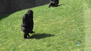 Twycross Zoo Gorilla Family After The Lockdown