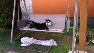 Stubborn husky absolutely refuses to get off swing - Video