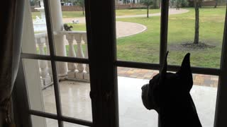 Fearless squirrel mocks Great Dane through glass door