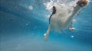Border Collie Feature swims underwater in swimming pool to get kong wubba dog toy - Video