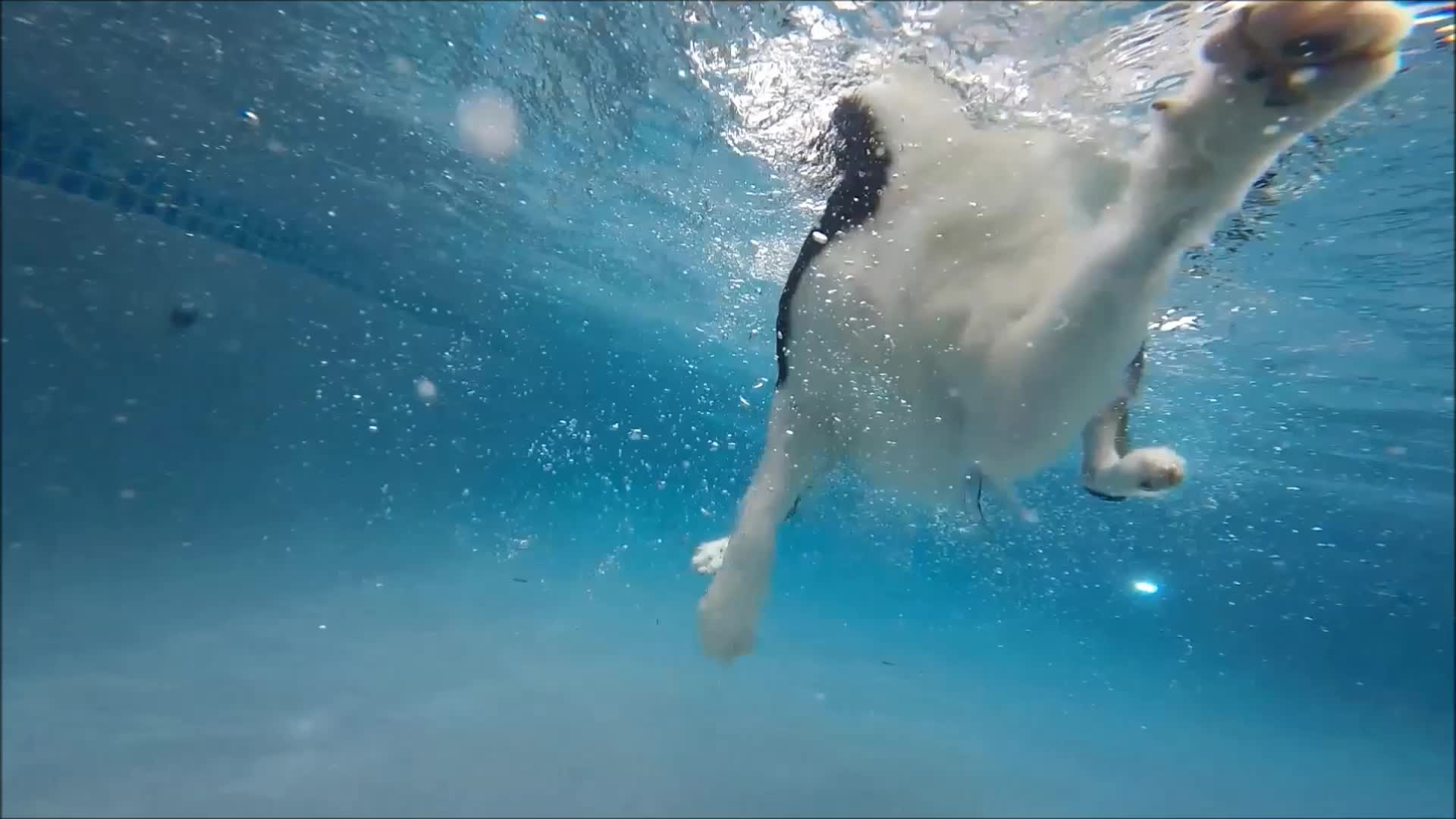 Border Collie Feature Swims Underwater In Swimming Pool To Get Kong Wubba Dog Toy