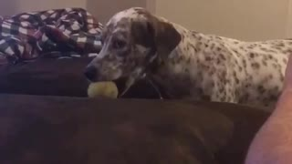 Black and white spotted dog brings ball to owner then throws it at owner - Video