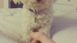 White dog howling everytime owner turns on lighter - Video