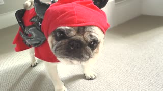 Funny 'Tasmanian Devil Pug' mockumentary footage - Video