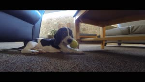 Basset Hound puppy plays with tennis ball for first time - Video