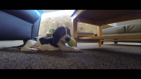 Basset Hound puppy plays with tennis ball for first time