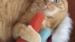 My cat wants to play with the carrot - Video