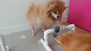 Adorable Pomerians is playing with a nose work toy