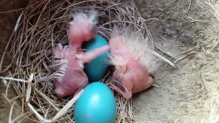 Newly Hatched Baby Birds - Video