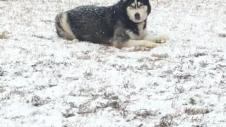 Rare snowfall in Mississippi has husky extremely happy