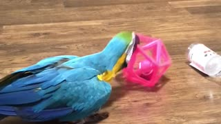 Parrot shows playful side with favorite toy - Video