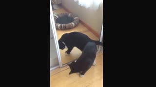 Cat looks in mirror, suspicious of reflection - Video