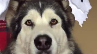 Malamute shows off ghost ear puppets