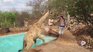 Giraffe gets rescued from pool! || Viral video UK - Video