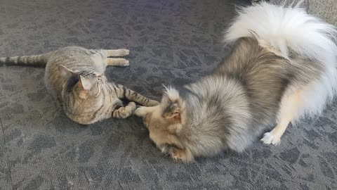 Best Friends! Cat and Dog are inseparable as they play together!