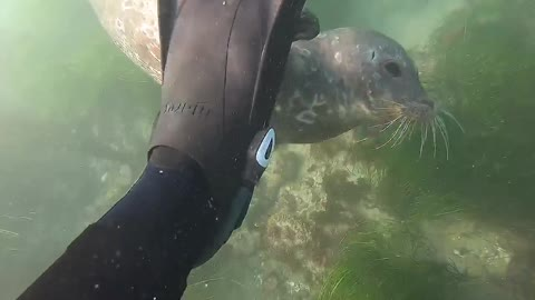 Cutest harbor seal plays with this diver's fins
