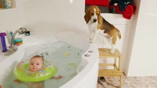 Persistent beagle can't reach baby's bath ducky - Video