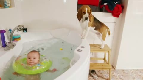 Persistent beagle can't reach baby's bath ducky