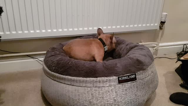 dog bed for frenchie