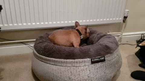 Frenchie puppy introduced to new bed, absolutely loves it