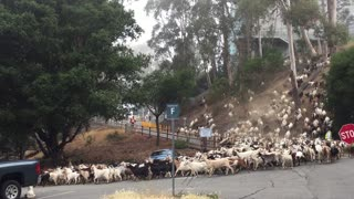 Goats on the Road - Video
