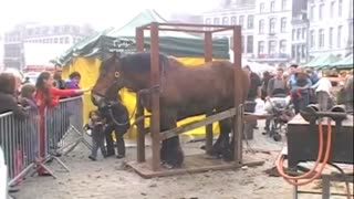 Shoeing a Draft Horse in Belgium - Video