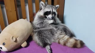 Raccoon chewing gum before going to bed