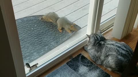 Is this brave squirrel taunting or trying to befriend the cat?