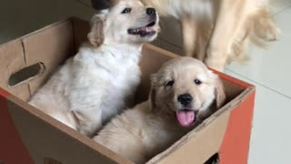 Golden Retriever Gets Puppies For Christmas