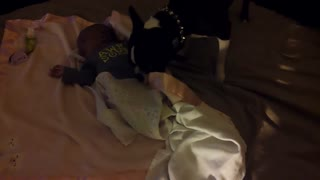 Boston Terrier tucks baby into bed - Video