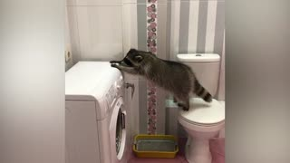 The clumsy raccoon tries to jump on the washing machine