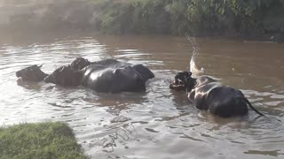 cow bathing in the canal