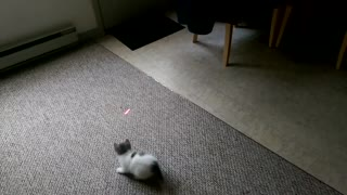 Laser-chasing kitten refuses to walk on tiles - Video