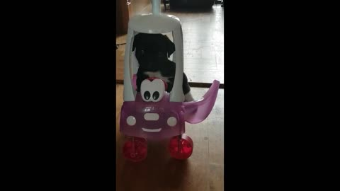 FUNNY PUG JACKO DRIVING IN HIS CAR