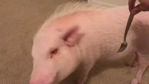 Pickle the Mini Pig Still Loves to Get Forked!