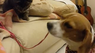 Cat and dog engage in tug-of-war match