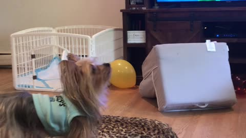 Pooch Plays Bounce the Balloon