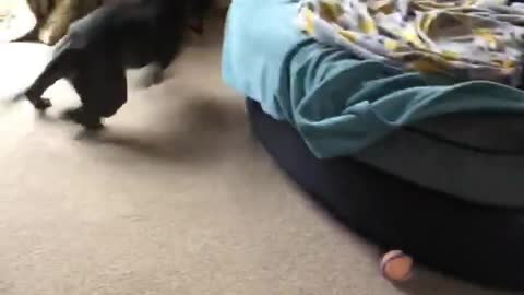 Insane zoomies send this doggy round and round the sofa