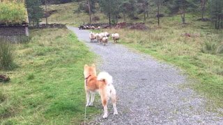 Akita Meets Herd of Sheep